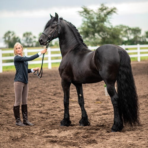Friesian stallion Marko