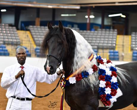Friesian Sporthorse Picasso's Masterpiece 12/2014