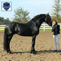 Utsen Kula FSA Provisionally Approved Friesian stallion