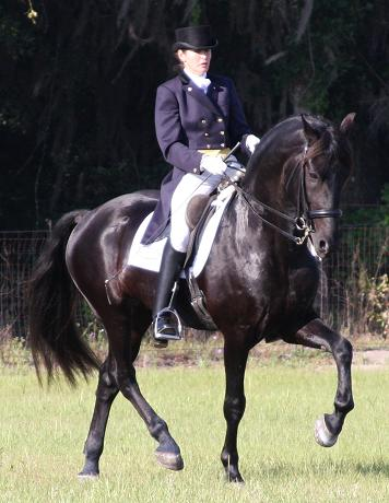 Friesian Sporthorse Grand Prix Champion