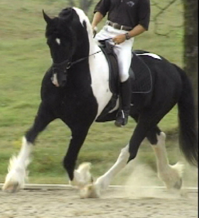 Nico - Main Book - Approved for Breeding - Friesian Sporthorse stallion