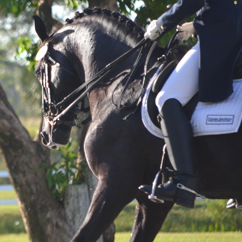 Friesian Sporthorse Grand Prix