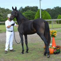 Friesian Sporthorse at inspection